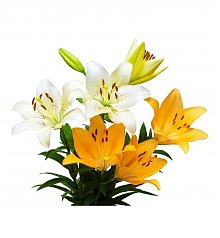 Flower Bouquets: Asiatic Lily Rainbow Bouquet